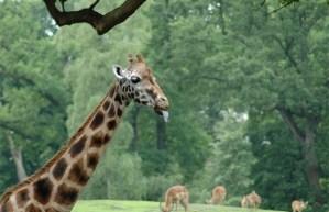 gezonde-giraf-uit-zoo-van-kopenhagen-wordt-afgemaakt-id5329655-620x400